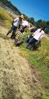 稲刈りイベント